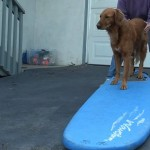 Dog surfing: Teach your dog to surf – Intermediate board work