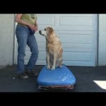 Dog surfing: Teach your dog to surf – Building confidence
