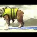 Dog surfing competition in Australia