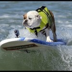 Dog surfing competition in California