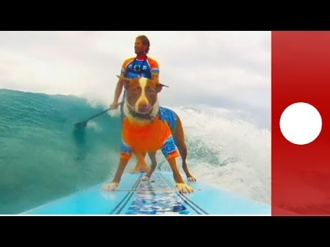 Hang loose! Dog surfing competition at Queensland surf festival
